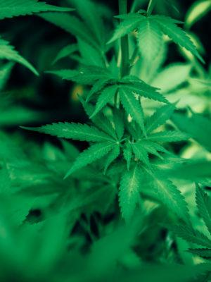 PEXELS - green-cannabis-plant-3536257